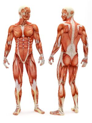 Basic details about muscles